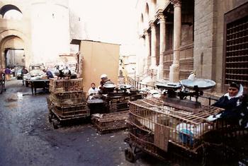 エジプト鳩.jpg
